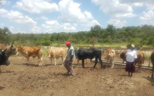 Beef production in Insiza