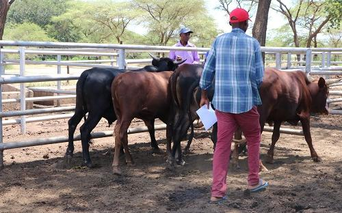 Beef production in Mbire